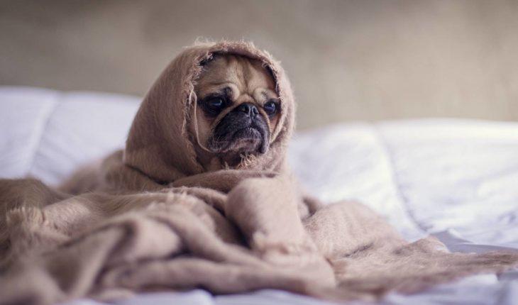 El coronavirus canino